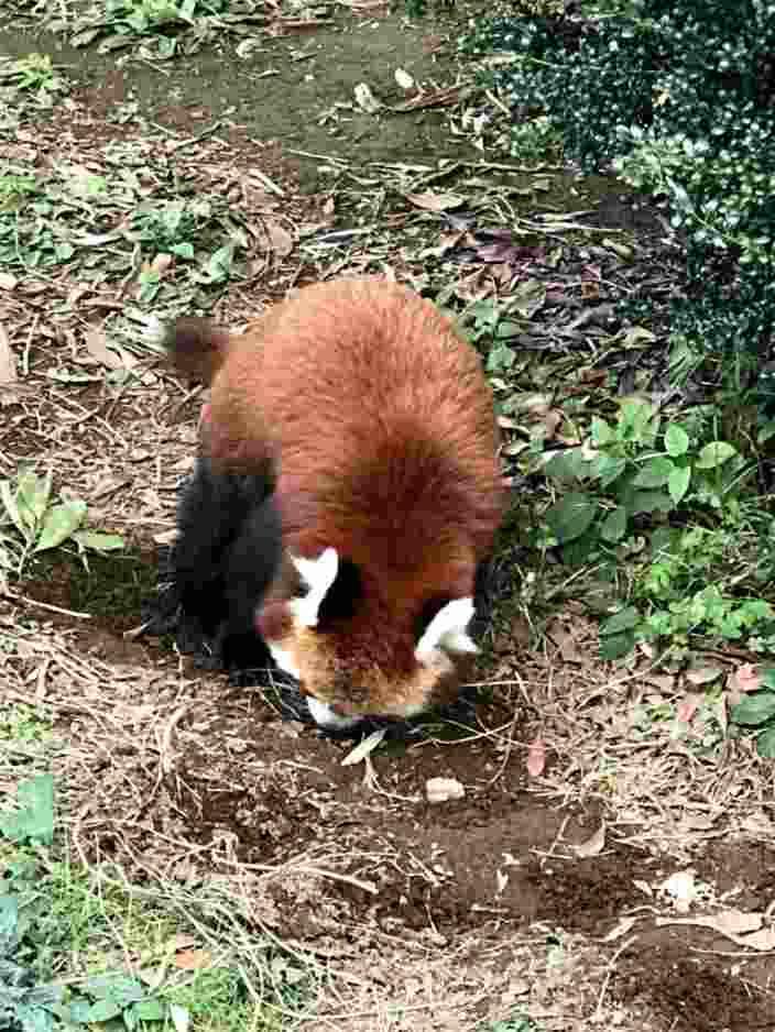 何かを掘り続けるレッサーパンダ_R