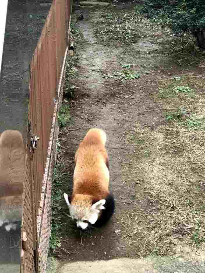 うろうろし続けるレッサーパンダ