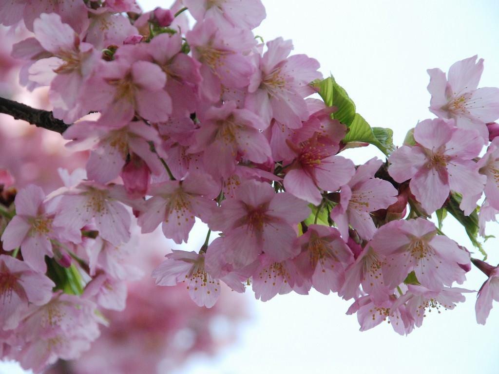 桜の写真_R